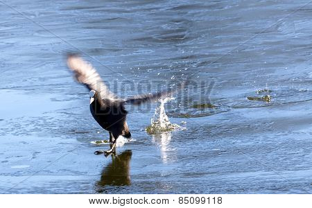 Coot Landing On Ice