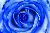 picture of blue rose  - Abstract Blue Rose Macro Close Up Flower - JPG