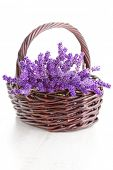 foto of lavender plant  - basket full of lavende  - JPG
