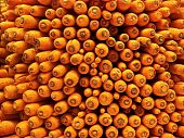 stock photo of splayed  - A pile of fresh carrots splay their trimmed heads outward as they await buyers to take them home  - JPG