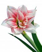 picture of belladonna  - blooming amaryllis macro isolated on white background - JPG