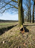 foto of row trees  - Rows of leafless trees and in the foreground a fallen down tree with a rotten trunk - JPG