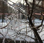 pic of freeze  - Icicles on the branches after spring freezing rain - JPG