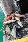 pic of catch fish  - Catched fish on wooden pier close up - JPG