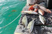 foto of catch fish  - Catched fish on wooden pier close up - JPG