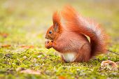 picture of hazelnut tree  - Red squirrel eating hazelnut in the park - JPG