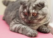 pic of scottish-fold  - Scottish Fold kitten gray - JPG