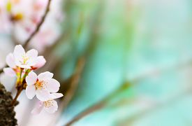 picture of pastel  - Cherry blossom  looming near a tree trunk with beautiful pastel blue background - JPG