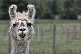 stock photo of animal teeth  - Llamas on a Central Florida llama farm - JPG