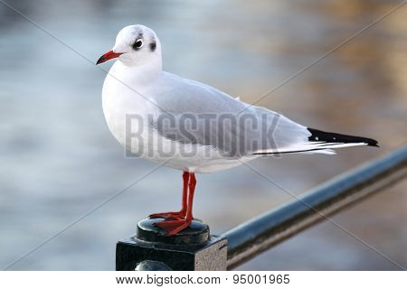 White And Gray Urban Pigeon