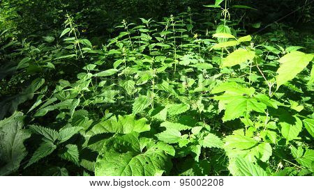 Forest Nettle