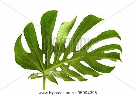 Large Greef Shiny Leaf Of Monstera