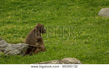 Baby Baboon and Parent
