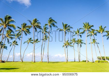 Coconut Palm Trees On The Poipu Beach In Hawaii