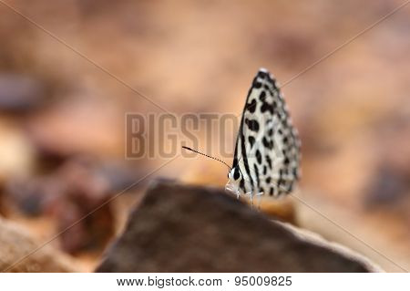 Common Pierrot (castalius Rosimon) Butterfly