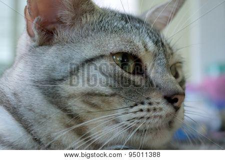 American Shorthair Cat Is Looking Forward
