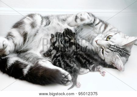American Shorthair Mother Cat Was Breastfeeding