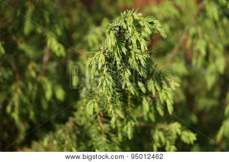 BRANCH CONIFEROUS TREE