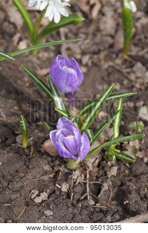 Violet crocus flowers  in the soil