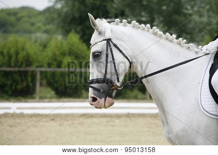 Side View Portrait Of A Beautiful Grey Dressage Horse During Work