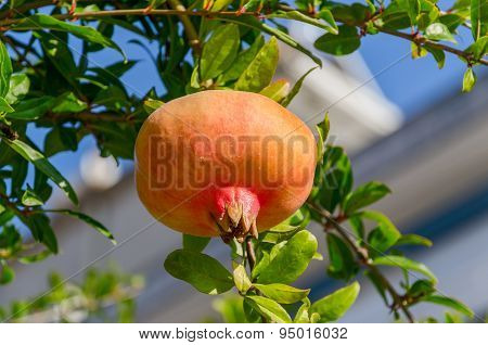 Ripening On Branch Pomegranate (punica Granatum)