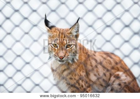 Lynx In Zoo Looking At You Out Of The Cage Sad Look