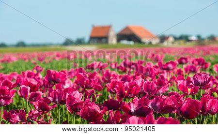 Cultivation Of Dark Pink Colored Papaver Flowers