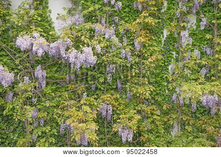 Beautiful wisteria against a sandstone wall