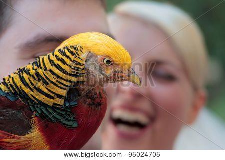 Colorful Pheasant Closeup