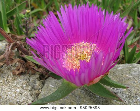 Wild ice or hottentot plant