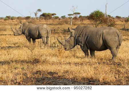 Two Rhino Standing On Open Area Looking For Safety From Poachers