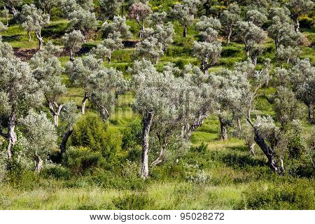 Grove Of Olive Trees In Montenegro On A  Summer Day