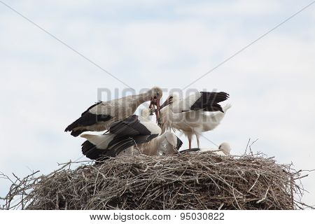 Baby Birds Of White Storks In A Nest In The Summer