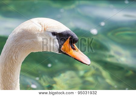 Close Up View Of The Head Of Swan