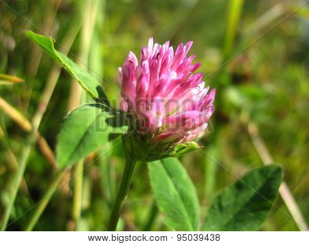 Pink Flower Of Clover