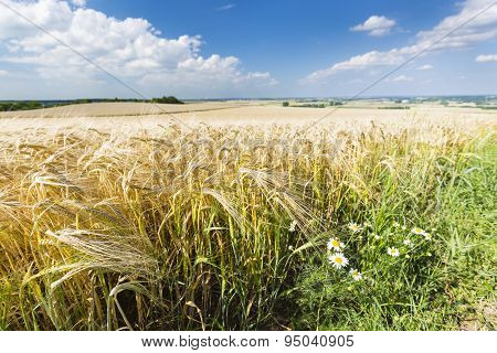 Golden Rye Field And Flowers