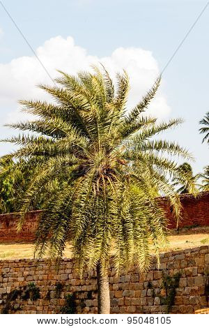 closeup view of a date palm tree captured on a sunny afternoon