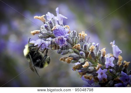 Bumble bee on lavender flower