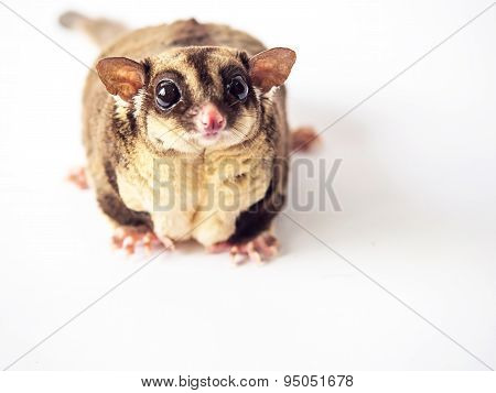 Obesity Or Fat Of Sugar Glider.