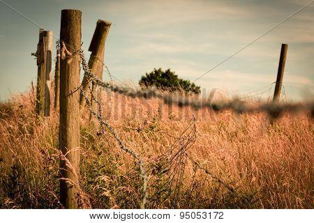 Barbed Wire In Corn Field