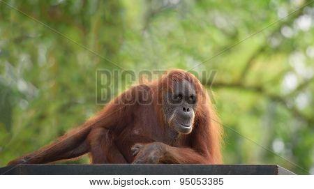 Adult Orangutan