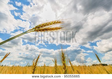 Wheat Ears And Sun