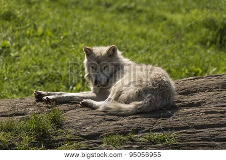 Arctic Wolf in summer