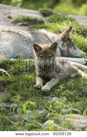 Timber Wolf pup and mother