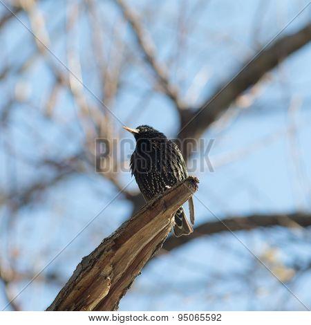 Portrait Of Starling