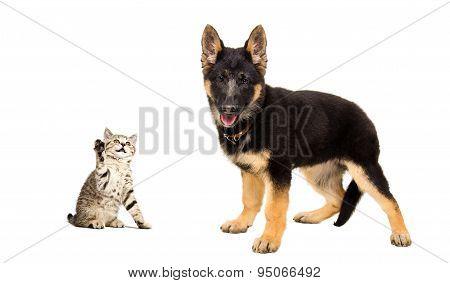 German Shepherd puppy and a playful kitten Scottish Straight