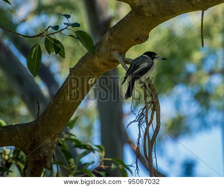 Butcher Bird In A Fig Tree