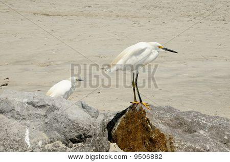 Immature Snow Egret