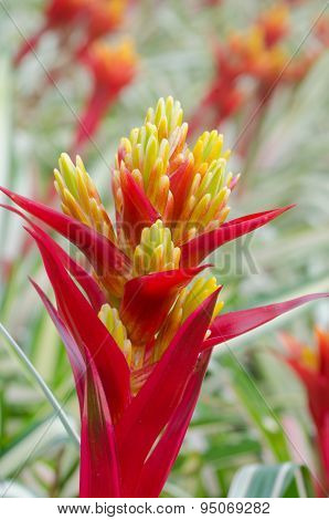Colorful Bromeliad Flower