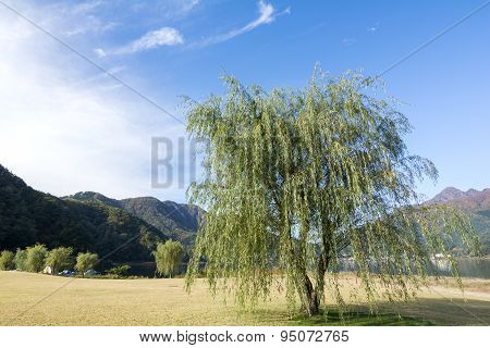 Willow tree of lakeside